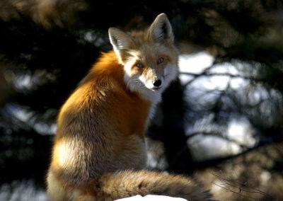 01 Foxy