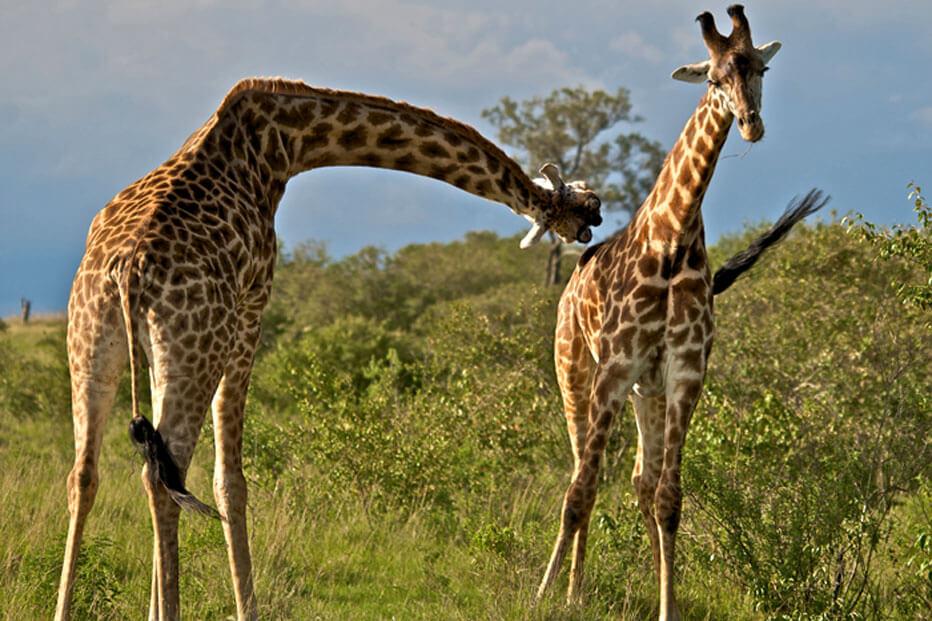 23 Giraffe Jousting